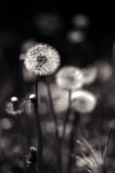 Another dandelion...