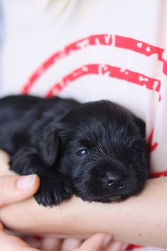 our new puppy, 3 weeks old :)  black miniature schnauzer