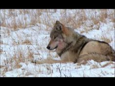 Great PBS Video On Wolves; 10 years after wolves were introduced back into Yellowstone. ~ Great!