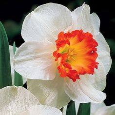 2017 New Arrival! 100 pcs Narcissus Flower Seeds Absorption Radiation Narcissus Tazetta Seeds Flowers for Rooms Decoration Bulb Flowers, Large Flowers, Flowers In Hair, Pretty Flowers, Yellow Flowers, Colorful Flowers, Narcissus Bulbs, Narcissus Flower, Spring Landscape
