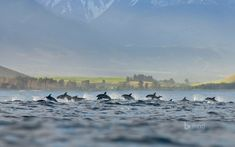A pod of dusky dolphins at Kaikoura, New Zealand  ©Terry Whittaker/Alamy  We're celebrating National Dolphin Day by heading to the waters offshore from Kaikoura, New Zealand, where a pod of dusky dolphins is surfacing along South Island's Pacific Coast. The 'dusky' descriptor comes from the dark gray, sometimes black coloring on the marine mammal's back. Dusky dolphins are found only in the Southern Hemisphere. Bing Homepage Wallpaper 04/14/2018