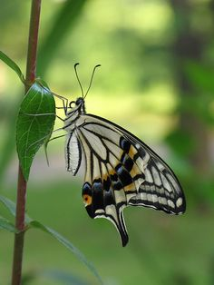 Swallowtail butterfly. Photographer unknown.  I like the way the background shows up the butterfly so clearly.