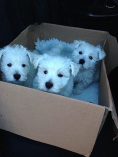 A box full of puppies