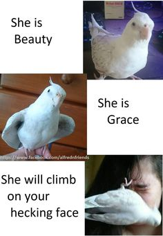 Animal Memes, Funny Animals, Cockatiel Care, Conure Bird, Bird Meme, Funny Parrots, Budgies, Pet Stuff, Pet Birds