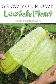 How to Grow Loofah Plants is part of Garden landscaping - Believe it or not, you can actually grow loofah plants right in your garden Say what ! The loofah, also spelled luffa, is plant that's part of the gourd family and looks a little like a cucumber Organic Vegetables, Growing Vegetables, Growing Plants, Pot Jardin, Organic Gardening Tips, Gardening For Beginners, Garden Planning, Container Gardening, Herb Gardening