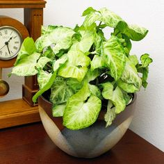 Easy to grow houseplants are perfect for those of us who are forgetful waterers. Bring some of these hardy plants into your own home to add a bit of greenery. Try the Norfolk Island pine, Chinese evergreen, grape ivy, snake plant, and more! These fun, fuss-free plants won't leave you discouraged.