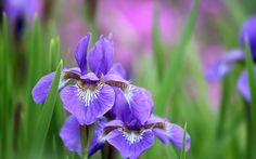 flor de lis da sibéria - iris sibirica