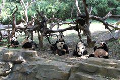 Parque e Safari Xiangjiang, em Guangzhou (ou Cantão), na província de Guangdong, na China. É o maior parque temático de animais na Ásia. Existem mais de 400 espécies e mais de 40.000 pássaros raros e animais no parque. O parque tem o maior número de espécies e a maior quantidade de animais e é o único parque de safári que tem koala, tigre branco, leão branco, canguru branco, e tamanduá e anta malaia. E aí estão os pandas do parque.  Fotografia: Jeroen Jacobs no Flickr.