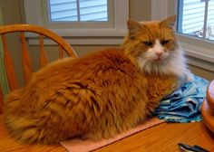 ❤ =^..^= ❤   Colorpoint Quilter ~ Bizzy