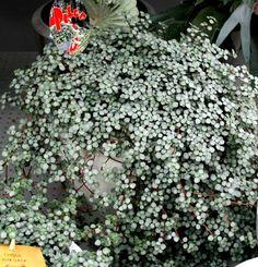 Image result for pilea silver glaucophylla