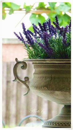 French Lavender in Urn Potted Lavender, Lavender Cottage, French Lavender, Lavender Blue, Lavender Fields, Lavender Flowers, Garden Urns, Malva, Container Gardening