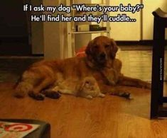 Golden Retriever, Puppy, Kitten, Cat, Rabbit, Cuteness, Dog–cat relationship Meme: If I Where's baby? ask my dog He'll find her and they lcuddle your CU