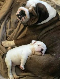 The major breeds of bulldogs are English bulldog, American bulldog, and French bulldog. The bulldog has a broad shoulder which matches with the head. Cute Bulldog Puppies, Super Cute Puppies, Cute Bulldogs, English Bulldog Puppies, Cute Baby Dogs, Cute Dogs And Puppies, English Bulldogs, Doggies, Baby Bulldogs