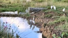 water, nature, reflection, grass, animal themes, outdoors, day, bird, growth, no people, animals in the wild, flock of birds, mammal