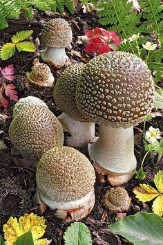 Amanita Rubescens | von tormento&estasi Nature Plants, All Nature, Amazing Nature, Wild Mushrooms, Stuffed Mushrooms, Amanita Rubescens, Horticulture, Mushroom Pictures, Slime Mould