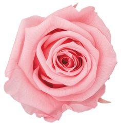 Standard Rose / Sugar Pink  スタンダードローズ/シュガーピンク