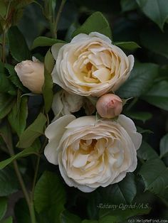 The Shepherdess, Shrub. English Rose Collection. David C. H. Austin 2007