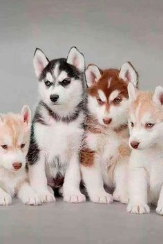 Blonde,black, and red husky. Blonde,black, and red husky. Cute Baby Animals, Animals And Pets, Funny Animals, Cute Husky Puppies, Dogs And Puppies, Huskies Puppies, Husky Dog, Malamute Husky, Siberian Husky Puppies