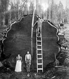♥ Giant Sequoia Tree National Park 1910. With a height of 275 ft, a diameter of 25 ft, and an estimated age of 2,300–2,700 years, it is among the tallest, widest and longest-lived of all trees on the planet. Once in the tens of thousands, now just a few hundred.