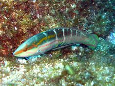 A male Pink-lined Wrasse (Coris dorsomacula). Fish and Chips, South West Rocks, NSW