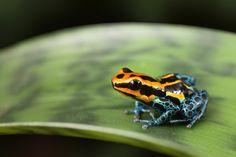 Poison Dart Frog Photograph Artist Dirk Ercken Medium Photograph Description frog Amazon rainforest Peru, poison dart frog Ranitomeya ventrimaculata small tropical amphibian kept in rain forest terrarium