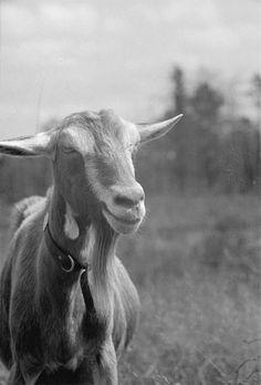 vintage farm, goat 1935