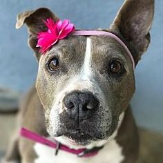 Fountain Valley California - Pit Bull Terrier. Meet Franny a for adoption.