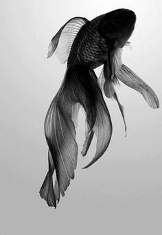 photography cute Black and White fashion kawaii beautiful photo dancing photograph black Grunge picture pic water fish nice other ocean sea pastel bubbles photographie betta creatures noir et blanc fishy serene poisson carpa fish cool Beautiful Creatures, Animals Beautiful, Cute Animals, Black Animals, Black Goldfish, Goldfish Types, Beta Fish, Fish Fish, Fish Ocean