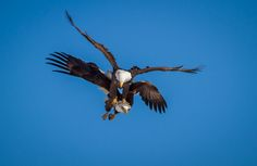 Eagle Bully by Troy Marcy on Birds Of Prey, Bird Feathers, Beautiful Birds, Wings, Bald Eagles, Troy, Feathers