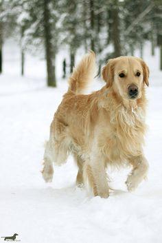 ihavelotsofdogs:    Golden boy by athenakristiina on Flickr.  Golden Retriever