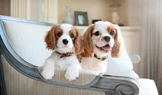 Everything you want to know about Cavalier King Charles Spaniels including grooming, training, health problems, history, adoption, finding good breeder and more.