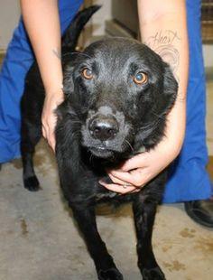 Oscar: Gorgeous black retriever mix sits on death row at high-kill SC shelter