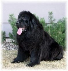 Looks like my Newfie Kona! Giant Dogs, Big Dogs, Dogs And Puppies, Doggies, Newfoundland Puppies, Newfoundland Canada, Dog Lover Gifts, Dog Lovers, Gentle Giant