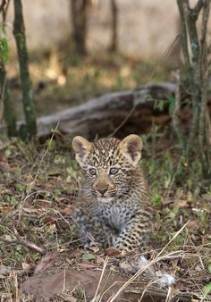 One of Olives cubs (by Lyndon Firman)