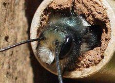 Keeping Mason Bees: 10 Expert Beekeeping Tips for Families