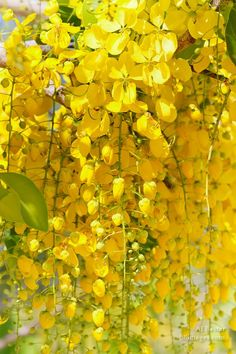 Image of cascading Golden Shower Tree Flowers, Cassia fistula from Placencia, Belize by AJ Baxter
