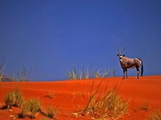 Oryx in the Dunes. Namibia
