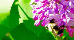 a Bumble Bee in the Lilac bush ♥