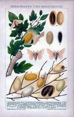 Antique litho silkworm Bombyx mori silk culture 1895