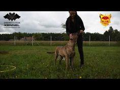 Cimarron Uruguayo - Beulah Cerberus Illusion - trick dog -Rainbow Ladder
