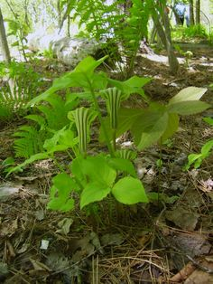 "When was the last time you saw a ""Jack-in-the-pulpit""?"