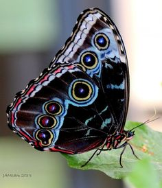 """Photoshopped Blue Morpho, fake colors,  captioned  """"Costa Rican Butterfly"""""""