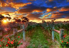 Vineyard sunset, Australia