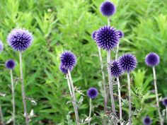 ECHINOPS Veitchs Blue - love this in my garden in summer.  Summer feels so far away at the moment...