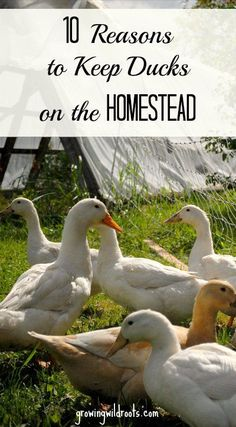 Since bringing ducks onto the homestead we have come to enjoy keeping them. Here are the top 10 reasons we will continue to keep ducks on the farm. Backyard Ducks, Backyard Farming, Chickens Backyard, Permaculture, Keeping Ducks, Chicken Coop Kit, Chicken Garden, Chicken Pen, Raising Ducks