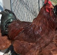 Try Buckeye chickens if you want to raise a superior meat breed. Photo courtesy Jeffrey Lay