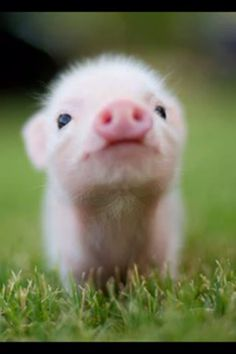 Micro Pig! The ultimate pet!!! One day I will have one as a pet and I don't care what anyone thinks about that :)