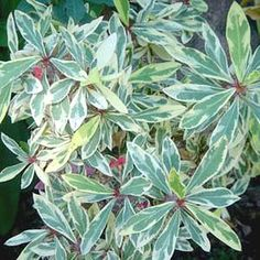 Euphorbia milii 'Fireworks' - Fireworks Crown of Thorns at San Marcos Growers