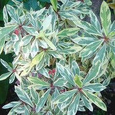 Euphorbia milii 'Fireworks' - Fireworks Crown of Thorns atSan Marcos Growers