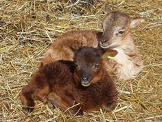 Soay sheep: Mahogany Saltmarsh Holbrook & his variegated twin Heber